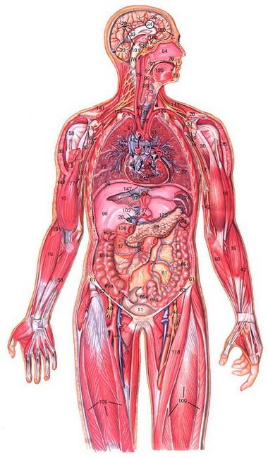 Влияние ИВЛ на некоторые функции организма